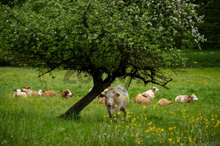 Cows on a spring meadow