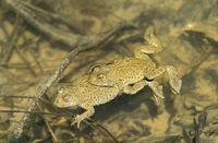 Mating of yellow-bellied toads (Bombina variegata)
