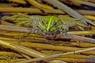 Wasserfrosch Rana esculenta