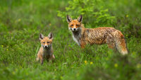 Red fox cub sitting on green meadow with adult standing behind it in springtime