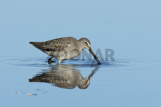 Dowitcher searches for food.