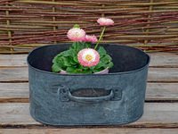 Decorative pot with Bellis perennis with pink flowers on wooden table