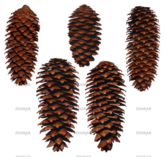 Five pinecones from Spruces