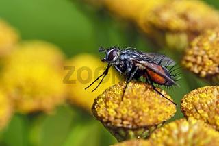 Rotgefleckte Raupenfliege ( Eriothrix rufomaculatus ).