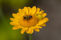 A Misumena vatia flower crab spider with a bee on an yellow aster flower