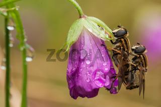 Große Sumpfschwebfliege, hoverflies  (Helophilus trivittatus)