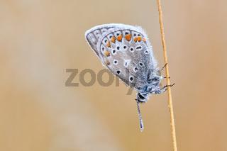 Blaeuling Schmetterling