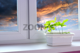 Young plants of oaks on window-sill and view to evening sky. Tree planting