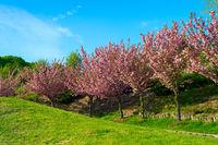 Blooming sakura trees alley spring