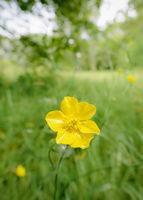 Yellow Ranunculus Repens
