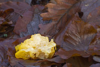 Golden Jelly Fungus lies between foliage after a storm torn off the mushroom from a branch