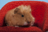 guinea pig sitting in a red chair