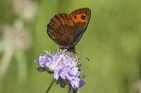 Moor butterfly Erebia montana