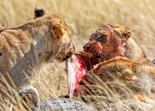 Löwin mit blutigem Gesicht am Riss, Etosha-Nationalpark, Namibia