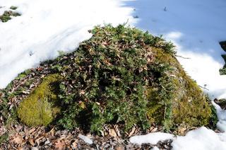 Juniperus horizontalis, Kriechwacholder, Creeping juniper, mit Schnee