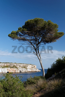 Pinienbaum in der Bucht Calo d´es Moro auf Mallorca