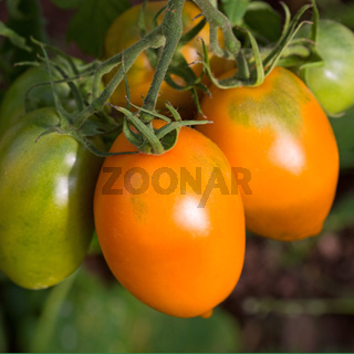 Farm of tasty yellow tomatoes on the bushes