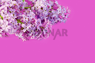 Lilac on a pink background