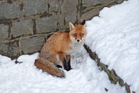 Red fox on the snow