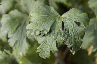 Hoher Rittersporn (Delphinium elatum)