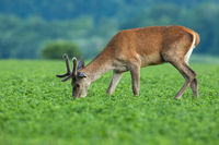 Red deer stag with velvet antlers grazing on clover in springtime nature