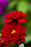 Red dahlia blossom