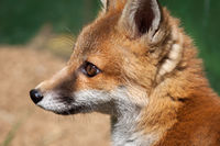 Close-up of a female Red Fox (Vulpes vulpes)
