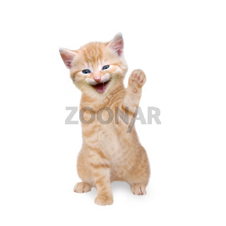 Cat, red tabby waving and laughing isolated on white background