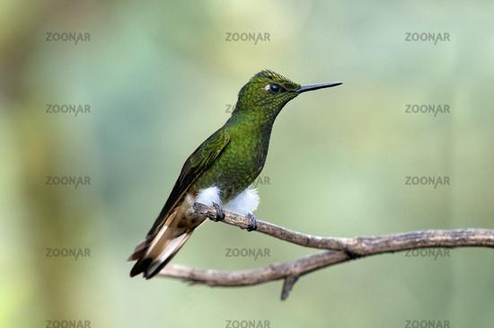 Buff-tailed Coronet, Boissonneaua flavescens