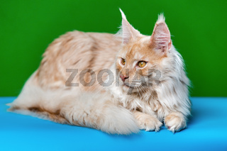 Domestic cat breed Maine Shag Cat lying on green and light blue background and looks away