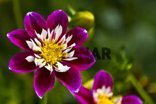 Violett-weiß Blühende Dahlie