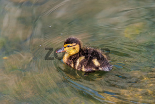 One Duckling on a river