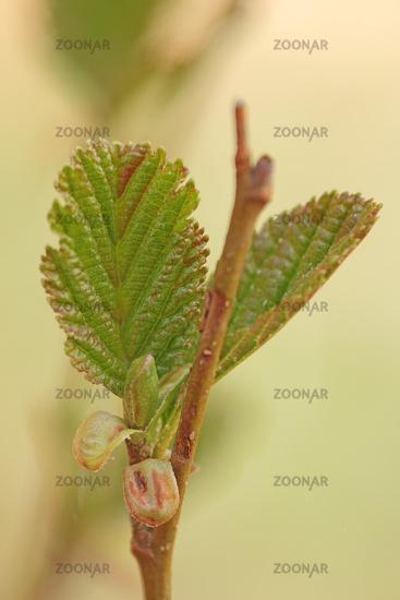 Hasel nut bush (Corylus avellana)