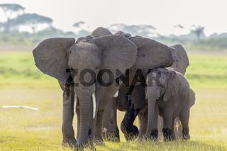 African Elephants, Amboseli National Park, Kenya, Africa