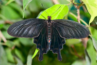 Black tropical butterfly