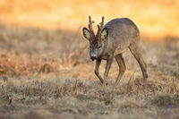 Roe deer buck walking on dry field in sunny spring nature