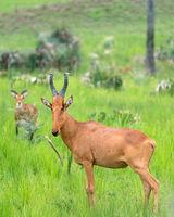 Hartebeest, Alcelaphus lelwel
