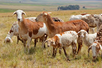 Meatmaster sheep - indigenous sheep breed of South Africa - on rural farm