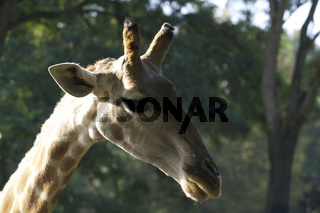 Giraffe Blick