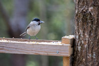 Marsh Tit (Poecile palustris) with a seed in its beak