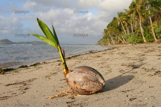 Stranded coconut on beach