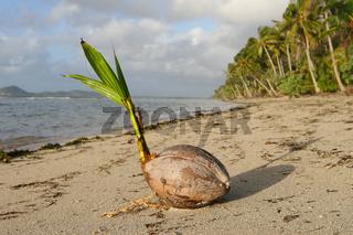 Kokosnuss am Strand