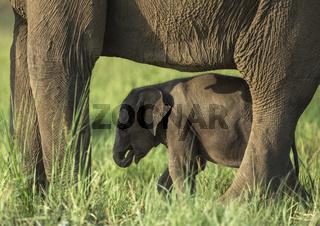 Elephant mother and baby frame, Dhikala, Corbett, India