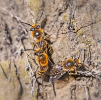 Efeu-Seidenbiene 'Colletes hederae'