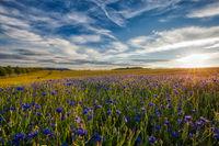Kornblumen im Sonnenuntergang Harz