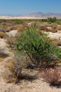 Desert Vegetation and Kelso Dunes