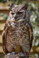 UK - Birds of Prey - Amazonian Great Horned Owl