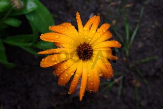 Ringelblume mit Regentropfen vor dunklem Hintergrund