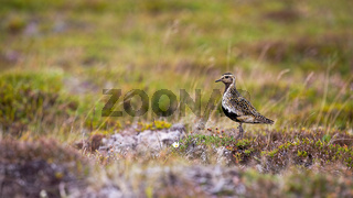 European golden plover looking on field with copy space