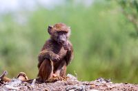 baby of chacma baboon sitting on garbage at the landfill, Ethiopia